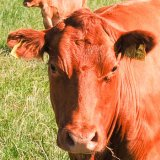 Red on Red ~ Red  Stabiliser Cow and calf mg0017