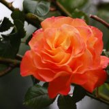 Scented rose ~ Peace mg 023