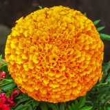 Spot on Marigold mg 025