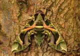 Oleander Hawkmoth Daphnis nerii atropos