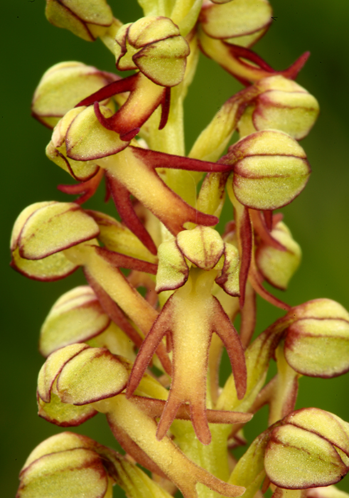 Man Orchid <em>Orchis anthropophora</em>