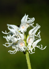Albino Monkey Orchid Orchis simia