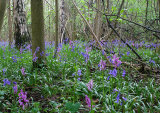Early Purple Orchids and Bluebells