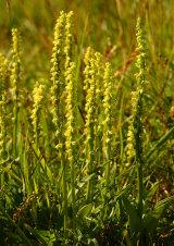 Musk Orchid Herminium monorchis