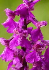 Green Winged Orchid Anacamptis morio