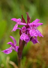 Pugsley's Marsh Orchid Dactylorhiza traunsteinerioides