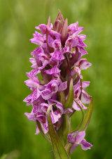 Early Marsh Orchid Dactylorhiza incarnata subsp. incarnata
