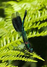 Banded Demoseille Calopteryx splendens