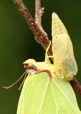 Brimstone Gonepteryx rhamni