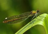 Banded Demoiselle Calopteryx splendens