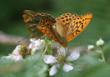 Silver-washed Fritillary Argynnis paphia mating pair