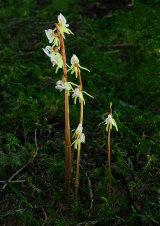 Ghost Orchid Epipogium aphyllum