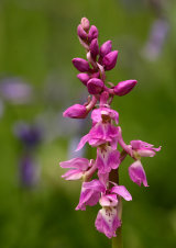 Early Purple Orchid Orchis mascula  with soft focus bluebells