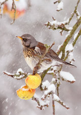 Fieldfare Turdus pilaris in the snow