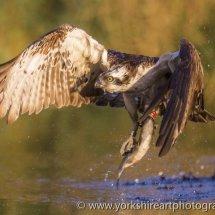Osprey with fish 3. Aviemore, Highland, Scotland, UK