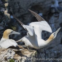 Nesting Gannets. Bempton Cliffs, East Yorkshire, UK