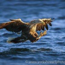 White Tailed Eagle 1 (Fish Eagle), Flatanger, Norway