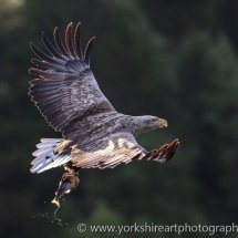 White Tailed Eagle 2 (Fish Eagle), Flatanger, Norway