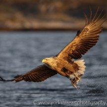 White Tailed Eagle 3 (Fish Eagle), Flatanger, Norway