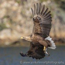 White Tailed Eagle (Fish Eagle), Flatanger, Norway