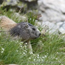 Marmott. Chamonix, French Alps