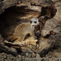 Baby Meerkat, Tropical World, Leeds