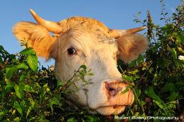 Cheeky Cow