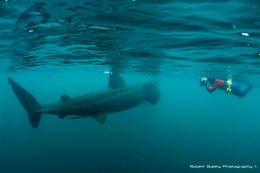 Photographer and basking shark