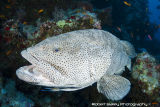 Brown-Spotted Grouper & Cleaner Wrasse