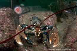 Common Lobster (Homarus gammarus)