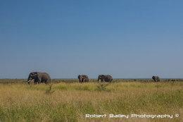 Elephants Grazing