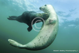 Grey Seals Courting? (Halichoerus grypus)
