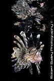 Common Lion Fish