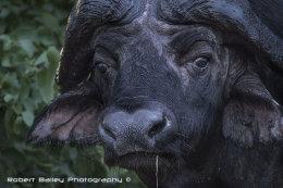 Cape Water Buffalo