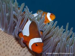 Western Anenome Fish (Amphiprion ocellaris)