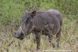 Warthog, Lower Sabie, South Africa