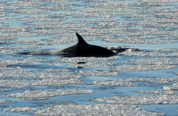 Antarctic Minke Whale (Baleanoptera bonaerensis) in the Ross Sea