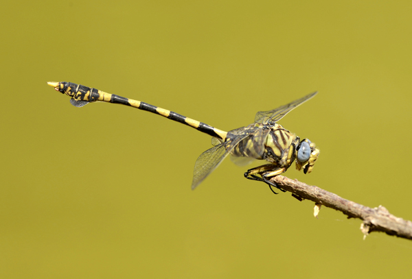 African Clubtail Dragonfly