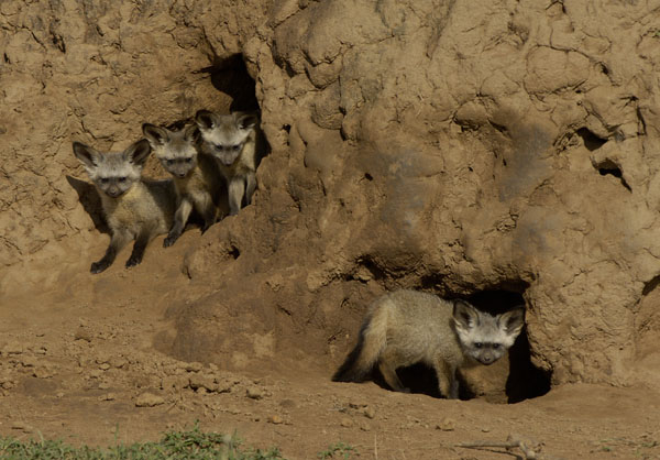 Bat-eared Fox (Octocyon megalotis) family in termite mound, Kenya