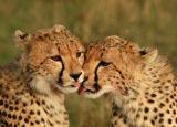 Cheetah (Acinonyx jubatus) grooming each other