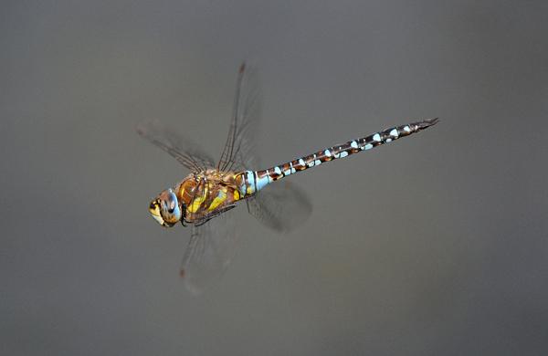 Male Migrant Hawker Dragonfly (Aeshna mixta)