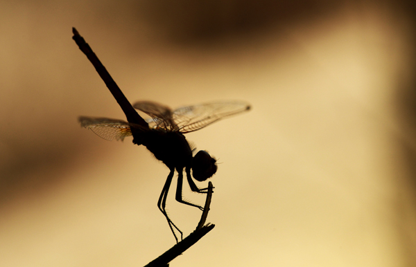 Silhouette of a Dragonfly, Zimbabwe