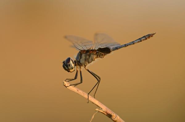 Dragonfly species, Zimbabwe