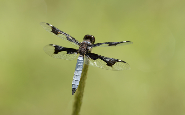 Dragonfly with patterned wings, Zambia