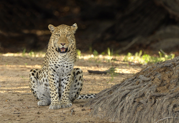 Female Leopard, Zambia