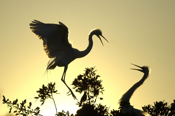 Great White Egrets (Egretta egretta) greet each other at sunset
