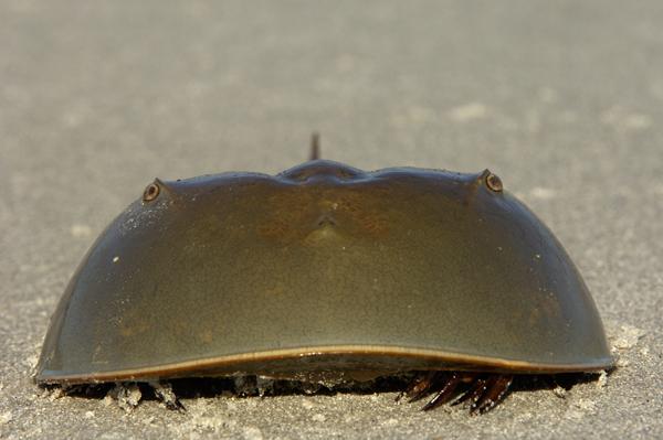Atlantic Horseshoe Crab (Limulus polyphemus) Florida, USA