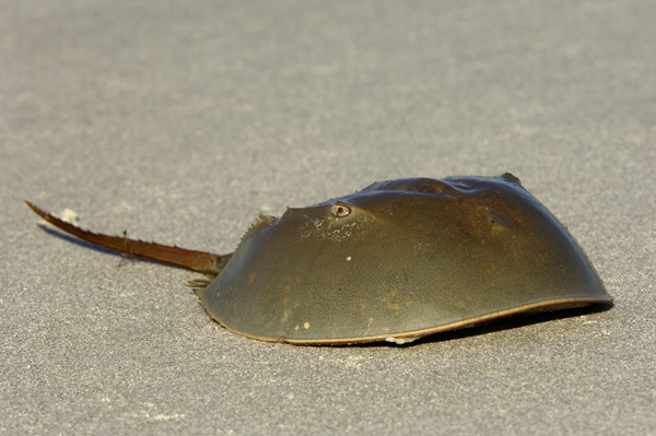 http://amazon.clikpic.com/mschuyl/images/Horseshoe_Crab07502_1.jpg