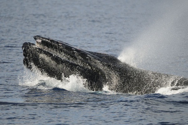 Humpback Whale blowing at surface