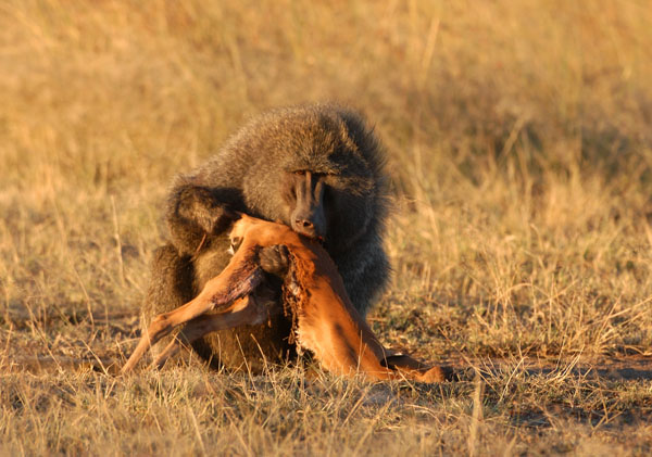 Olive Baboon (Papio anubis) eating a gazelle